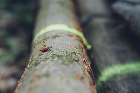 Germany, Saxony, Cardinal beetle Pyrochroa Coccinea on log - MJF001693
