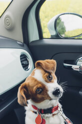 Germany, Saxony, Jack Russel mongrel dog in car - MJF001702