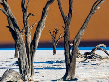 Namibia, Namib Naukluft, Dead Vlei, dead camel thorns in front of desert dune - AMF004544