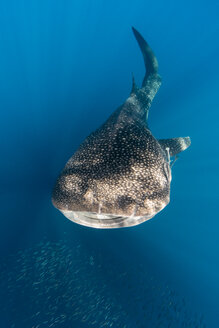 Whale shark, Cenderawasih Bay, Papua, Indonesia - TOVF000041