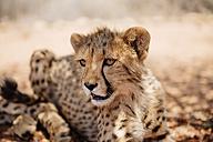 Namibia, portrait of cheetah cub - GEMF000535