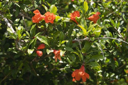 Pomegranate blossoms - GSF001049