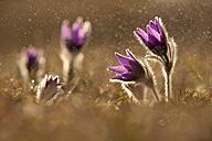 Common pasque flower, Pulsatilla vulgaris, flowering - BSTF000101