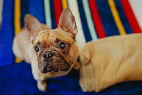 Portrait of French bulldog looking up - GEMF000571