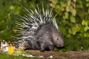 Thailand, Petchaburi Province, Malayan porcupine at Kaeng Krachan National Park - ZC000355