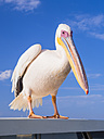 Namibia, Erongo Province, portrait of white pelican - AMF004603