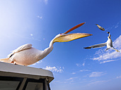 Namibia, Erongo Province, white pelican standing on top of a boat catching a fish - AMF004606