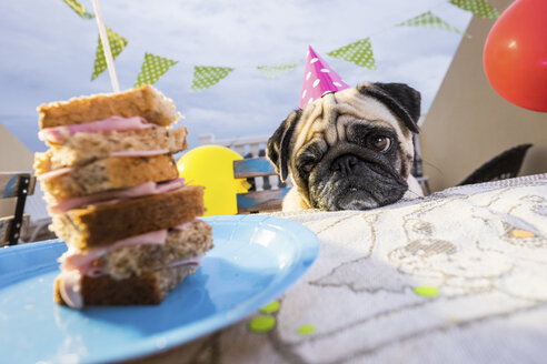 Pug wearing party hat at table looking at sandwich - SIPF000003