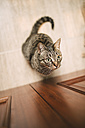 Portrait of tabby cat waiting in front of a door at home - RAEF000766