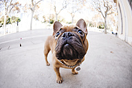 Portrait of French bulldog looking up - GEMF000616
