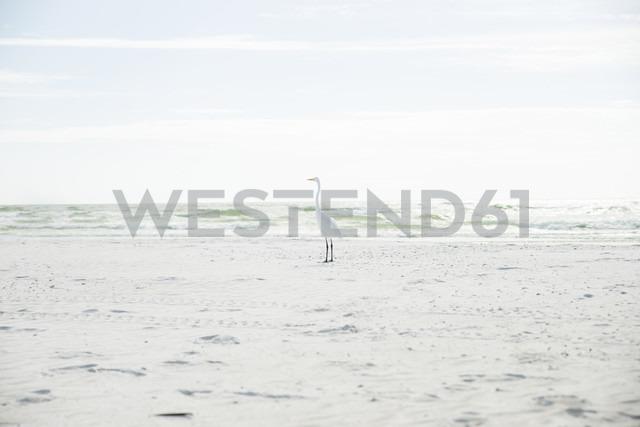 USA, Florida, Sarasota, Siesta Key, heron on beach - CHPF000183