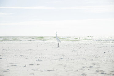 USA, Florida, Sarasota, Siesta Key, heron on beach - CHPF000183