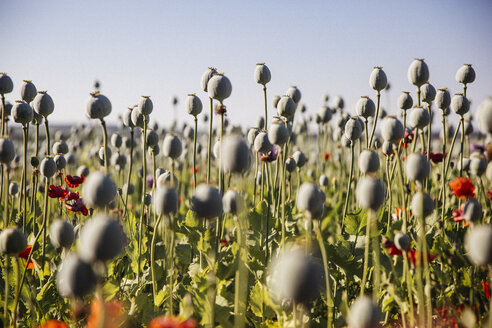 Austria, Lower Austria, field of poppies, poppy seed capsules, unripe - AIF000188