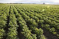 Potato field - AIF000192
