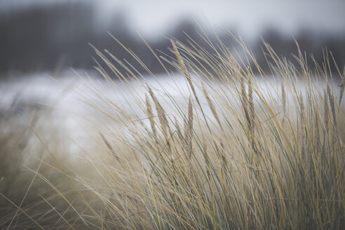 Marram grass in winter - ASCF000453