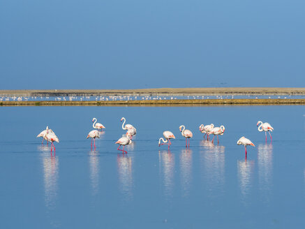 Namibia, Swakopmund Region, pink flamingos standing in the water - AMF004636