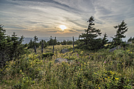 Germany, Saxony-Anhalt, Harz National Park, spruce trees and foxglove, Brocken Mountain - PVCF000737