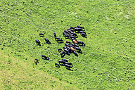 Cattle herd, aerial view - KLEF000026