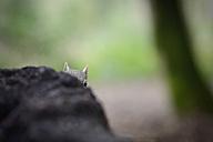 Grey squirrel peeking - MJOF001133