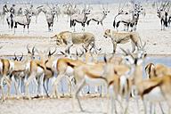 Namibia, Etosha National Park, lions in a waterhole surrounded by Springboks, Kudus and Zebras - GEMF000655