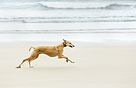 Spain, Llanes, greyhound running on the beach - MGOF001302