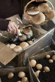 Woman picking crimini mushrooms cultivated in boxes - MIDF000716