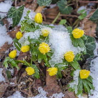 Winter aconite in winter - MHF000379