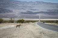 Death Valley National Park, Coyote standing in front of road - STCF000174
