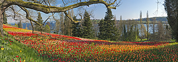 Germany, Mainau Island, Tulips at the Fruhlingsstrasse - SH001831