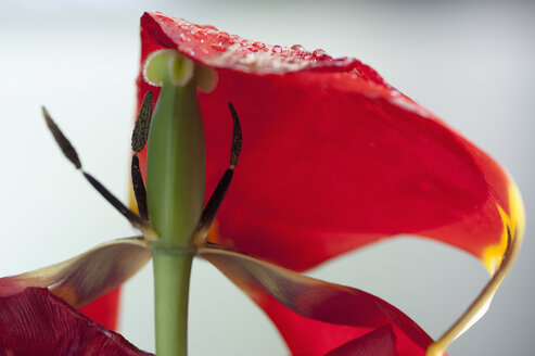 Withered tulip blossom with water drops - CRF002733