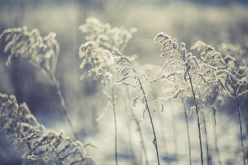 Frozen grasses in winter - ASCF000507