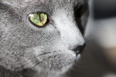 Face of grey cat, close-up - NGF000280