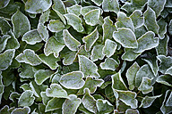 Frost-covered leaves - GUFF000265