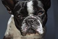 Portrait of French Bulldog - KIJF000149