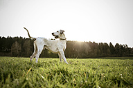 Mongrel standing on a meadow at evening twilight - REAF000017