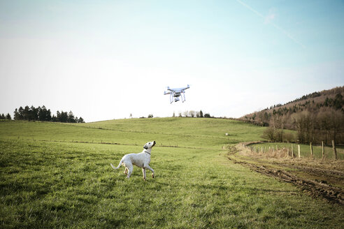 Germany, Sauerland, mongrel on a meadow watching flying drone - REAF000020