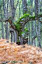 Spain, Avila, Autumn in the forest El Tiemblo, moving ferns - DSGF000877