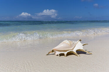 Seychelles, La Digue, Spider conch, Lambis lambis, mussel on the beach - FOF008430