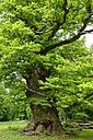 Germany, Ivenack, Ivenacker Eichen, very old pedunculate Oak - LBF001375