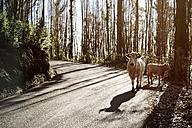 Portugal, Madeira, cows on the road - REAF000033