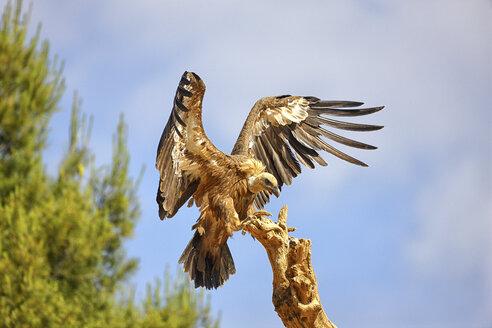 Griffon vulture, gyps fulvus, landing on wood - DSGF000883