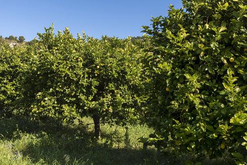 Sicily, Noto, organic lemon trees - CSTF000897