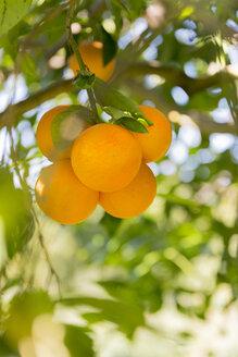 Sicily, Noto, organic oranges, tree - CSTF000900