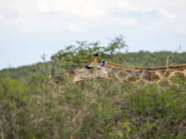 Namibia, Okaukuejo, partial view of eating giraffe at Etosha Nationalpark - AMF004779