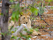 Namibia, Okaukuejo, Etosha Nationalpark, young lion - AMF004790