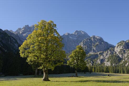 Austria, Tyrol, Eng, Rohn Valley, Karwendel, Sycamore Maple in autumn - LBF001380