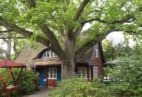 Germany, Fischland-Darss-Zingst, old oak tree and Darss Museum - SIEF006961