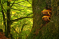 Spain, Asturias, mushrooms at a tree trunk in Natural Park of Fuentes del Narcea, Degana and Ibias - DSGF000941