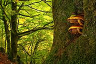 Spain, Asturias, mushrooms at a tree trunk in Natural Park of Fuentes del Narcea, Degana and Ibias - DSGF000941