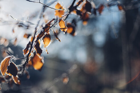 Twigs and frost-covered leaves - MJF001753